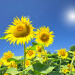 Royalty-Free Stock Photo: Fine sunflowers and fun sun in the sky.