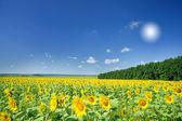 Image of golden plantation sunflowers. — Stock Photo