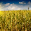 Golden wheat against blue sky with clouds. — Стоковое фото