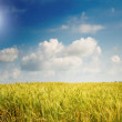 Royalty-Free Stock Photo: Field of lush wheat and blue sky with clouds.