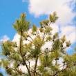 Stock Photo: Beautiful pine tree and blue sky.