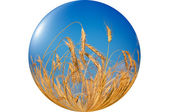 Wonderful, ripe wheat against blue sky background. — Stock Photo