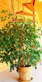 Ficus ve sarmal merdiven. — Stok fotoğraf