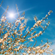 Plum tree blossom by spring. — Stock Photo
