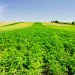 Royalty-Free Stock Photo: Landscape of potato plantation.