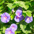 Bush of beautiful violet flowers in blossom. — Stock Photo #6283377