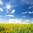 Sunflowers field by summertime. - Stock Photo