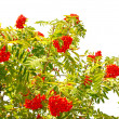 Splendid red rowan on a white. — Stock Photo