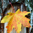 Golden-yellow maple leaf on bark of birch tree . — Stock Photo