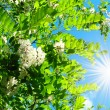 Wonderful view of white acacia and fun sun on the sky. — Stock Photo