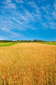 Field of ripe wheat and clouds on the sky. — Stock Photo