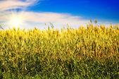Splendid blue sky and golden field. — Stock Photo