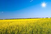 Nádherné zlaté řepkového pole a zábavy slunce. — Stock fotografie