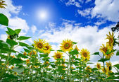 Girasoles asombrosos y divertidos contra el cielo azul. — Foto de Stock
