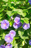 Bush of beautiful violet flowers in blossom. — Stock Photo