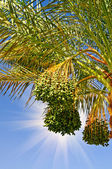 Date palm with bunches of unripe dates. — Stock Photo