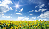 Sunflowers field by summertime. — Stock Photo