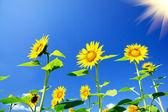 Fine sunflowers and fun sun in the sky. — Stock Photo
