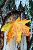 Golden-yellow maple leaf on bark of birch tree . — Stock Photo
