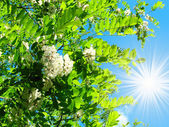 Wonderful view of white acacia and fun sun on the sky. — Foto Stock
