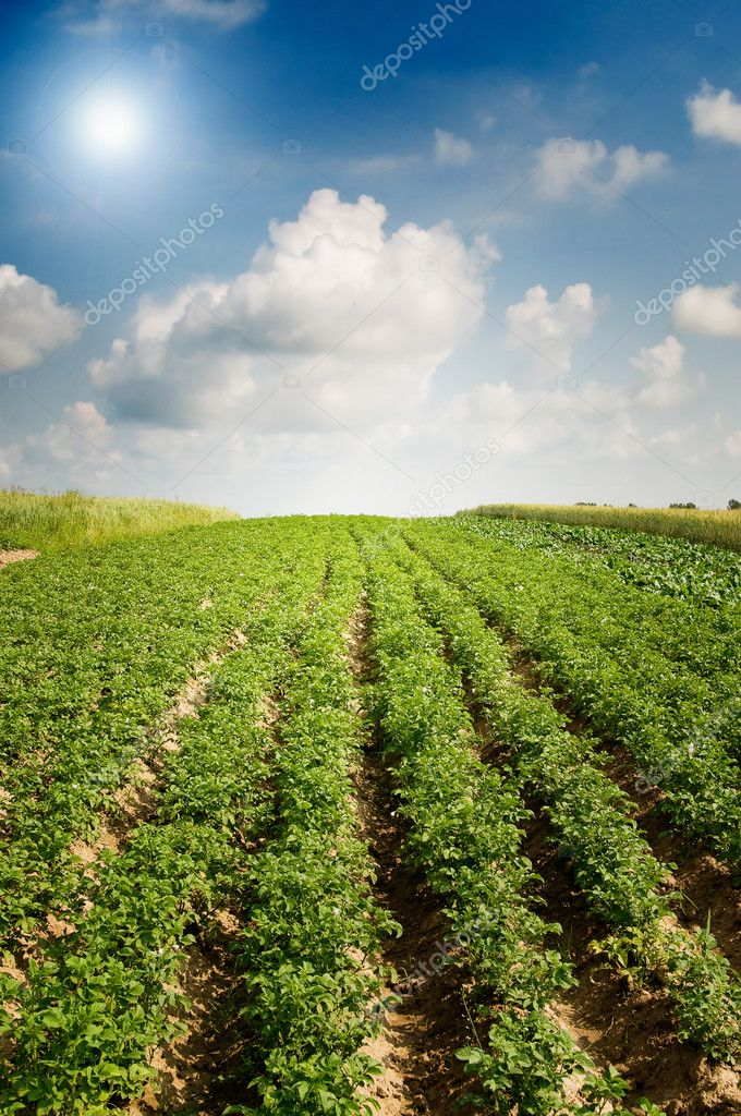 Wonderful potato field by summertime. — Stock Photo #6281703