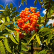 Blue sky,sun and tree of ripe rowanberry. — Stock Photo