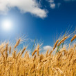 Golden, ripe wheat in the blue sky background. — Stock Photo
