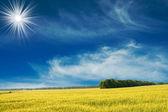 Green wheat and beautiful blue sky. — Stock Photo