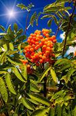 Blue sky,sun and tree of ripe rowanberry. — Stock Photo