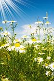 Silence camomiles,sun and blue sky. — Stock Photo