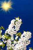 Wonderful sunbeams and blooming cherry branch by springtime. — Stock Photo