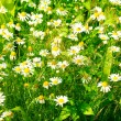 Summer and meadow covered by daisywheels. — Stock Photo
