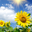 Stock Photo: Wonderful sunflowers over cloudy blue sky.