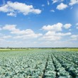 Field of green cabbages  by summertime. — Stock Photo