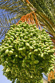 Date palm with green unripe dates. — Stock Photo