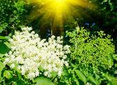 Elderflower ve yaz aylarında güzel güneş ışınları. — Stok fotoğraf