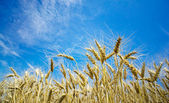 Summer view of ripe wheat. — Stock Photo