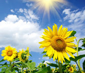 Wonderful sunflowers over cloudy blue sky. — Stock Photo