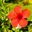 Colorful hibiscus flower blossom and fun sun. — Stock Photo