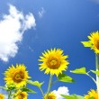 Stock Photo: Fine sunflowers and fun sun in sky.