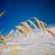 Summer view of ripe wheat. - Foto Stock
