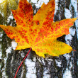 Beautiful golden-yellow maple leaf on bark of birch tree . — Stock Photo