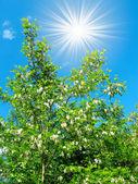 Bílý akát a krásné modré nebe s zábavné slunce. — Stock fotografie