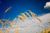 Vista estiva del grano maturo. — Foto Stock