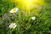 Three pretty camomiles and wonderful sun. — Stock Photo