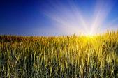 Espléndido campo verde y el azul del cielo con el sol. — Foto de Stock