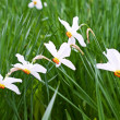 Splendid spring flowers of narcissuses. — Foto de Stock
