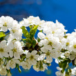 Splendid  image of blooming cherry. — Stockfoto