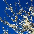 Sparrow and blooming plum by spring. — Stock Photo