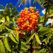 Blue sky and tree of ripe rowanberry. — Stock Photo